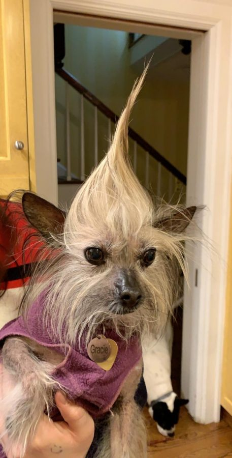 Roraff's dog, Queen Gracie, shows off her new hairstyle. Roraff said her dogs provide her with comfort during stressful times. Photo courtesy of Lucy Roraff 21.
