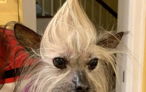 Roraff's dog, Queen Gracie, shows off her new hairstyle. Roraff said her dogs provide her with comfort during stressful times. Photo courtesy of Lucy Roraff '21.